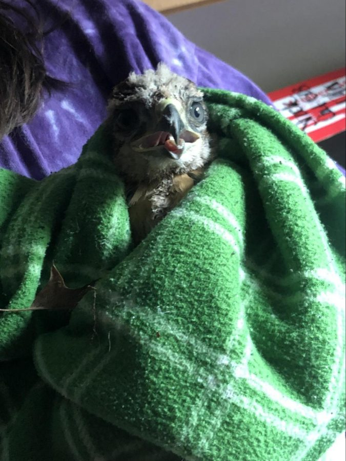 Jessica+Winkler+of+Wild-Wildlife+Rehab+of+the+QC+cradles+the+red-tailed+hawk+that+is+about+to+be+transported+to+Animal+Family+Care+Center.+The+bird+of+prey+will+be+evaluated+before+either+being+released+back+into+the+wild+or+to+the+organization+RARE+%28Raptor+Advocacy%2C+Rehabilitation%2C+and+Education%29if+further+rehabilitation+is+required.